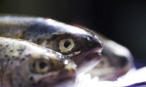 affumicatura-pesce
